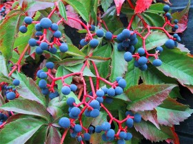 Дикий виноград осенью.