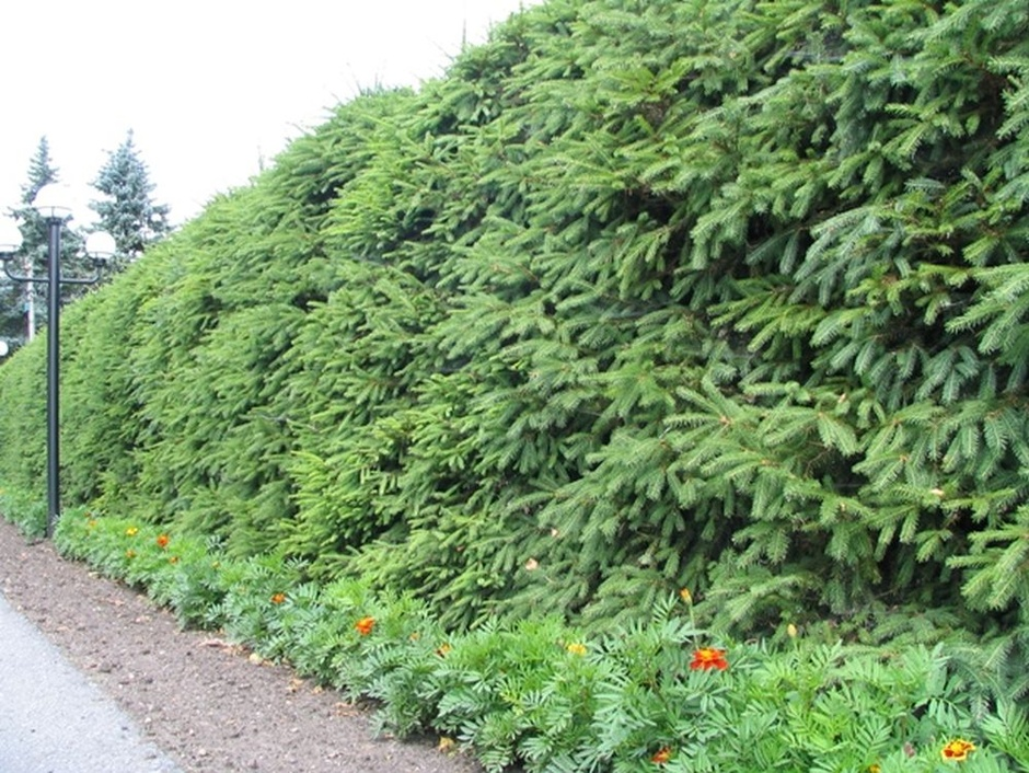 На фото: еловая изгородь.