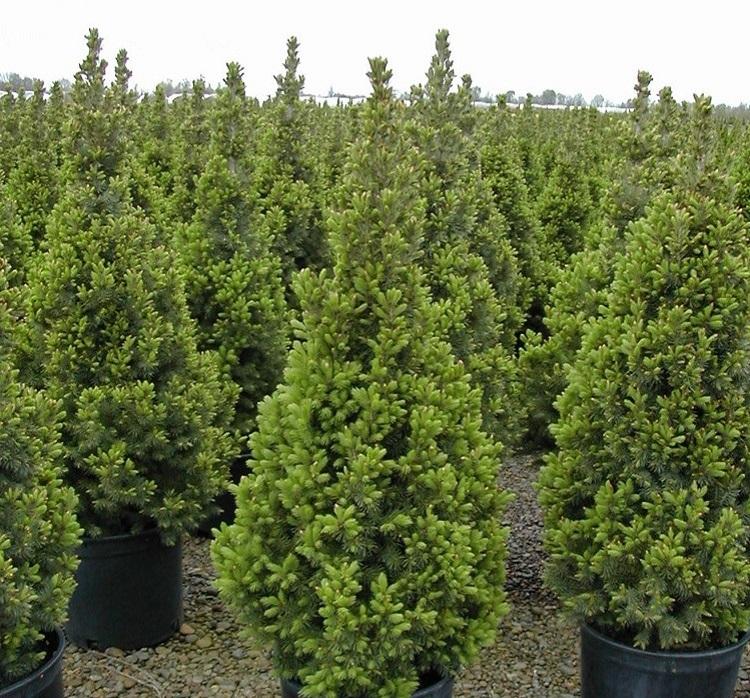 """Spruce """"Konica"""" in the nursery."""