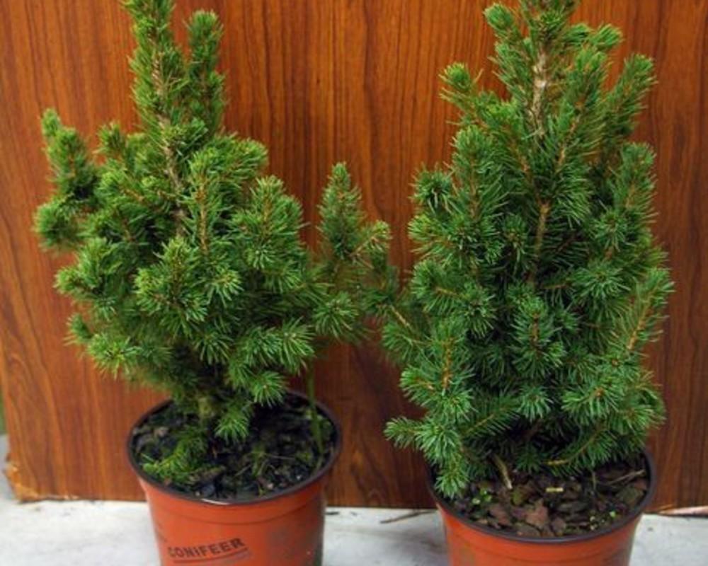 "Spruce ""Konica"" in a pot."