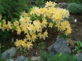 Желтый японский рододендрон.