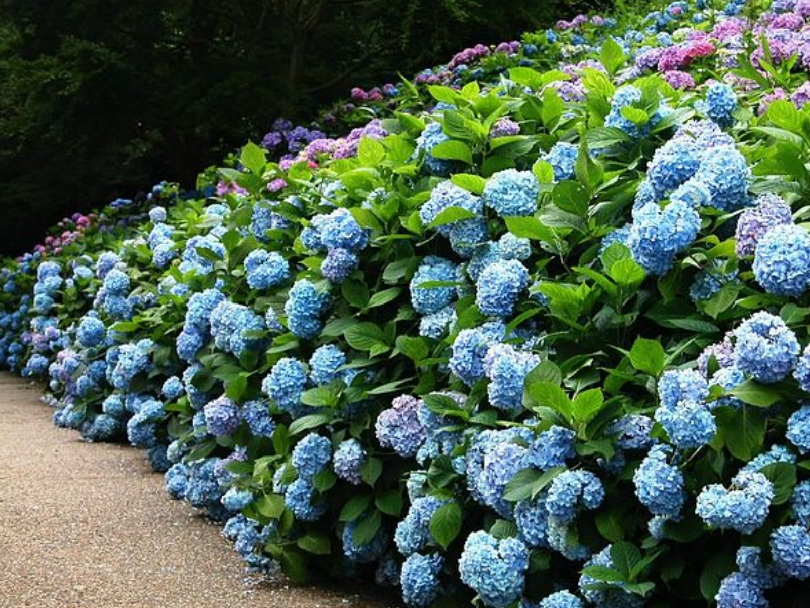 A hedge of hydrangeas.