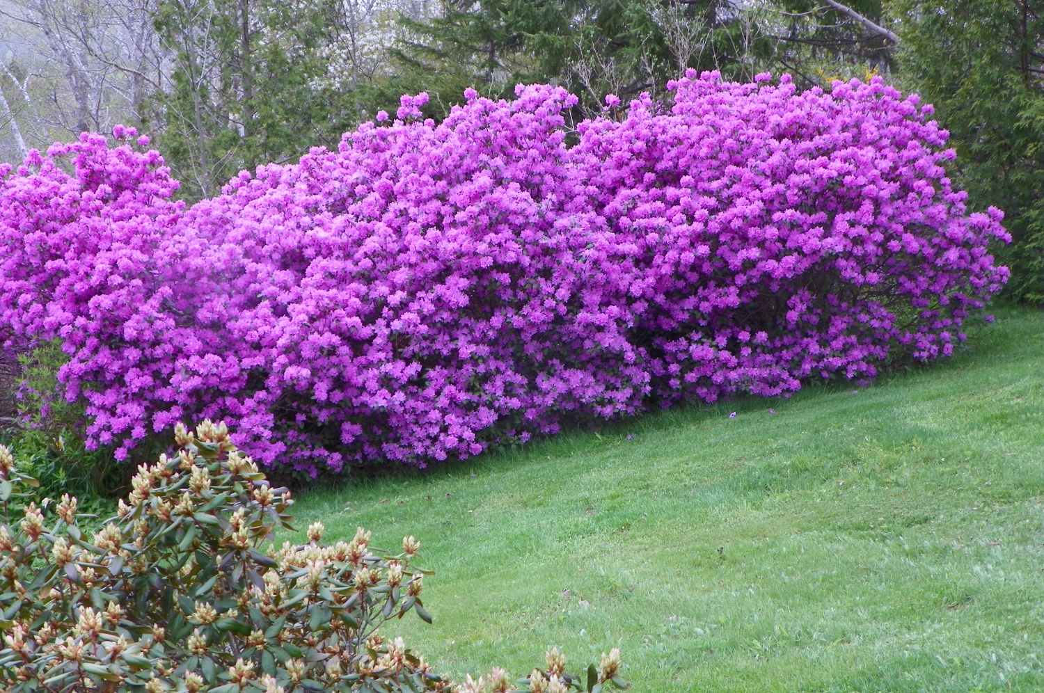 Hedge of rhododendron.