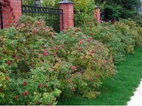 Живая изгородь из роз.