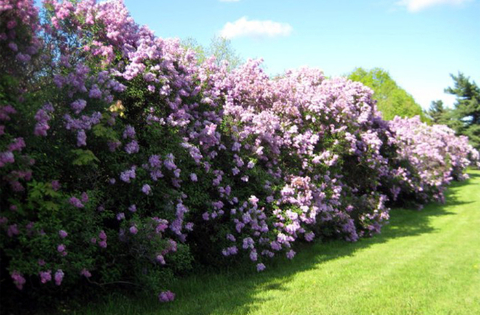 A hedge of lilac.