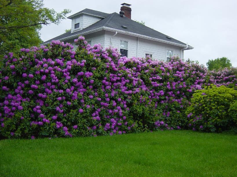 На фото: живая изгородь из цветущего фиолетового рододендрона.