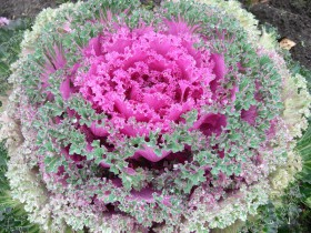 Зелено-розовая капуста.