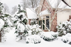Conifers in winter: tips gardeners