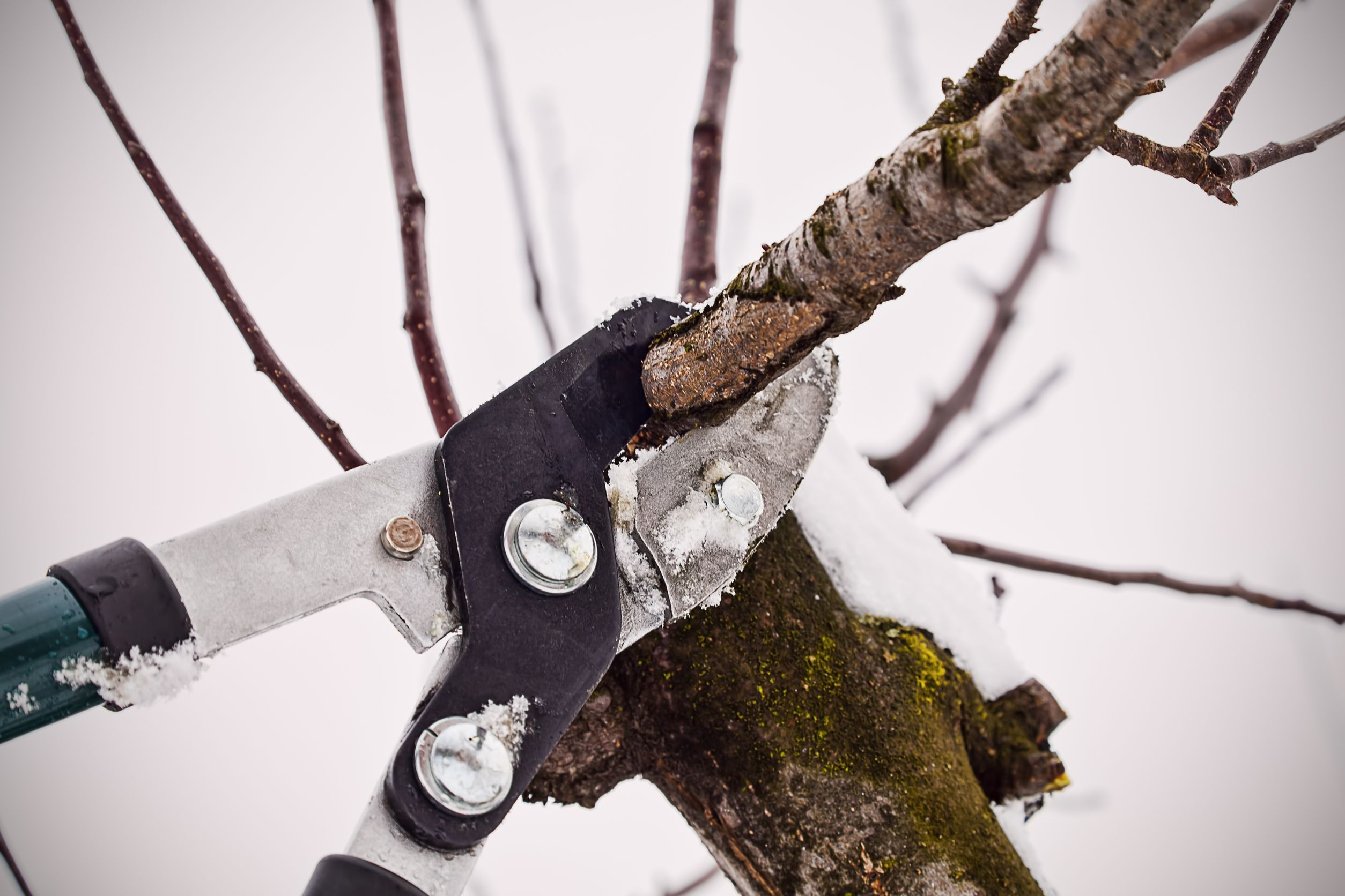 Winter pruning.