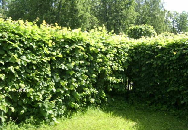 The hedge of small-leaved Linden.