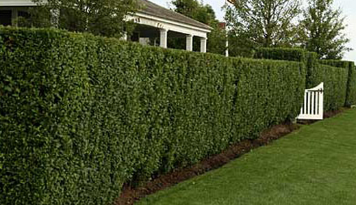 A high fence of yew.