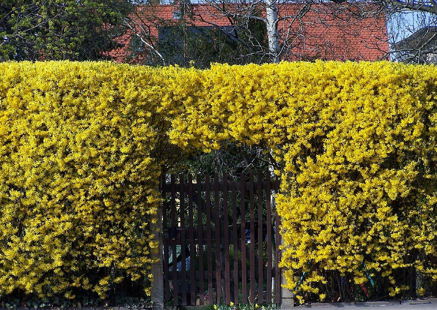 In the photo: a hedge of forsythia.