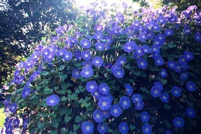 Голубая ипомея в саду.