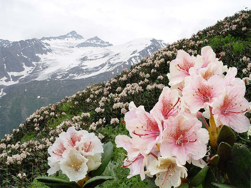 Kavkaz rhododendron.