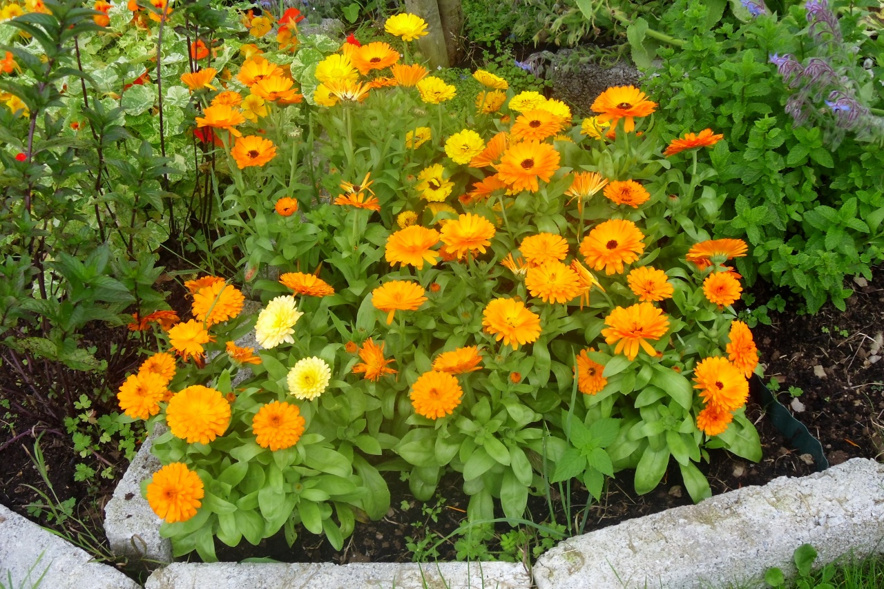 In the photo: calendula in the garden.