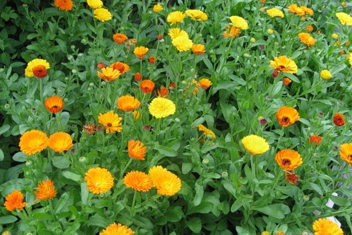 Calendula in Moorish lawn.