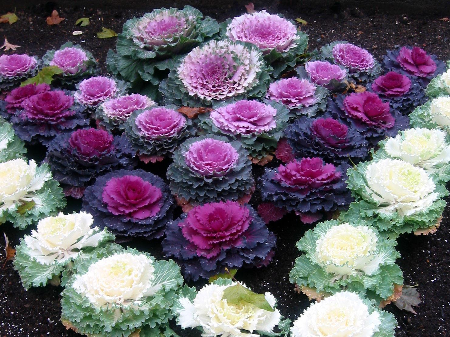 Капустные орнаменты из растений разного цвета.