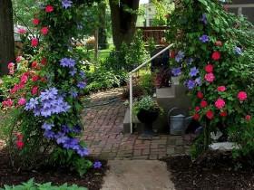 Клематисы в садовом ландшафте.