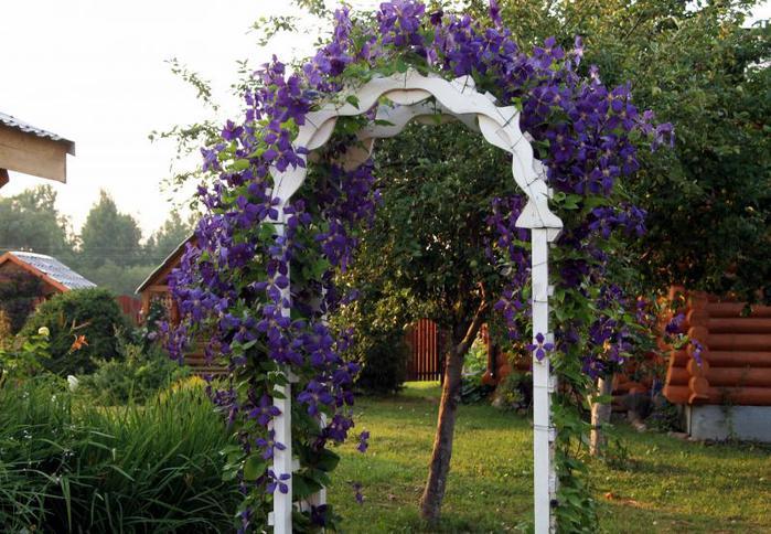 Клематис на арке в саду.