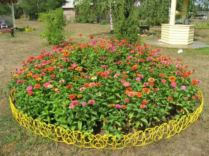 In the photo: a bed of zinnias.