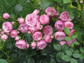 "Клумбовая роза флорибунда, сорт ""Помпонелла""."