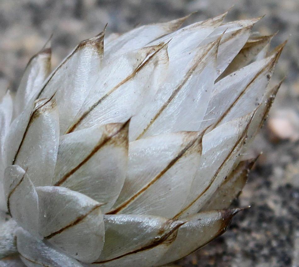 Коробочка с семенами катананхе.