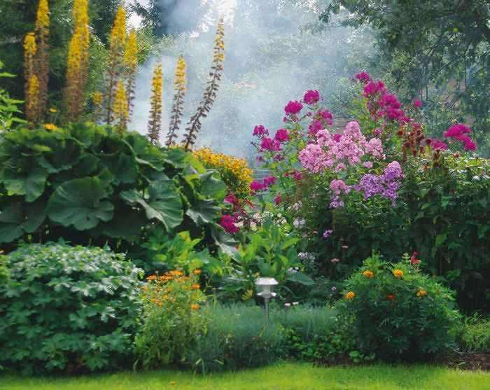 Крупнолистый бузульник в саду.