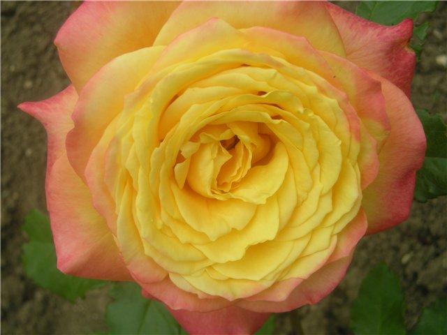 Крупноцветковая роза.