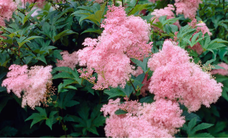Meadowsweet and pink colored blossoms.