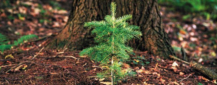 Forest fir.