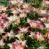 Лилии: высадка в грунт