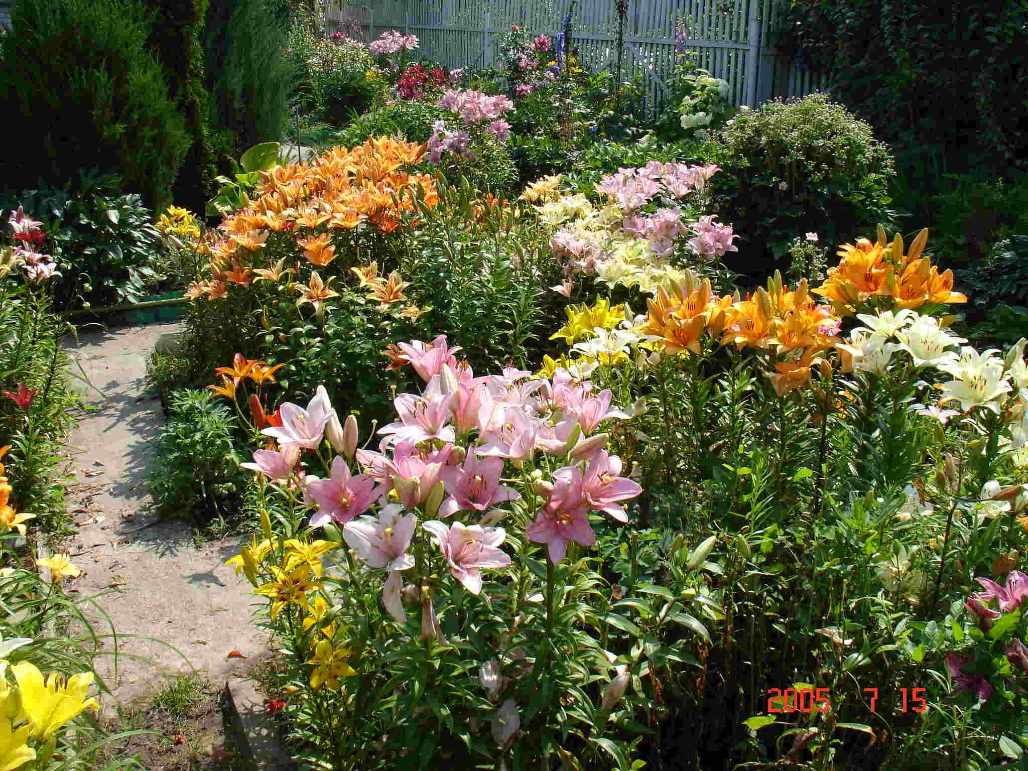 Лилии в саду.
