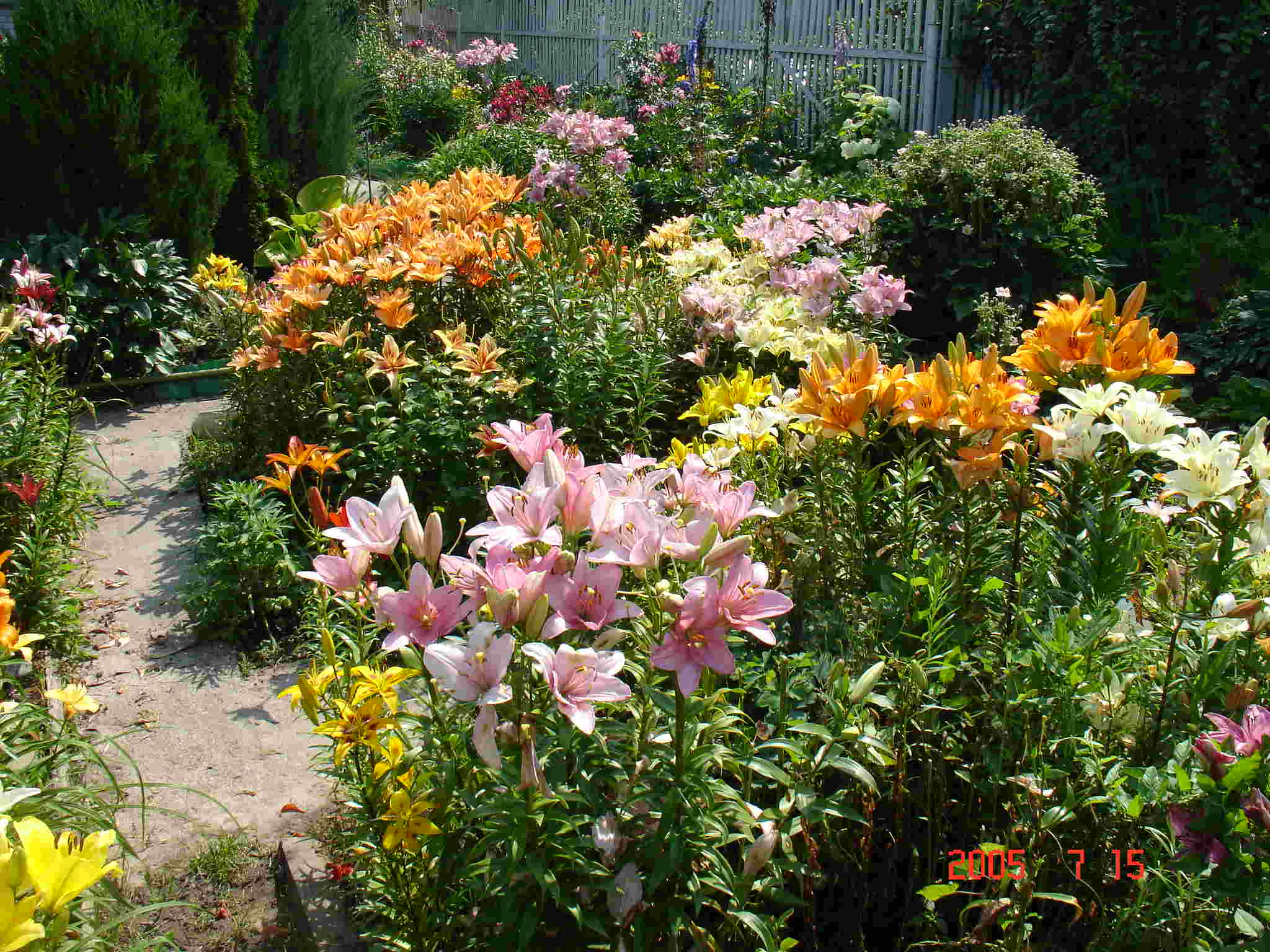 Lilies in the garden.