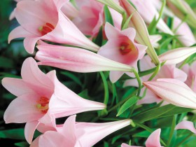 Розовая трубчатая лилия с поникающими цветами.