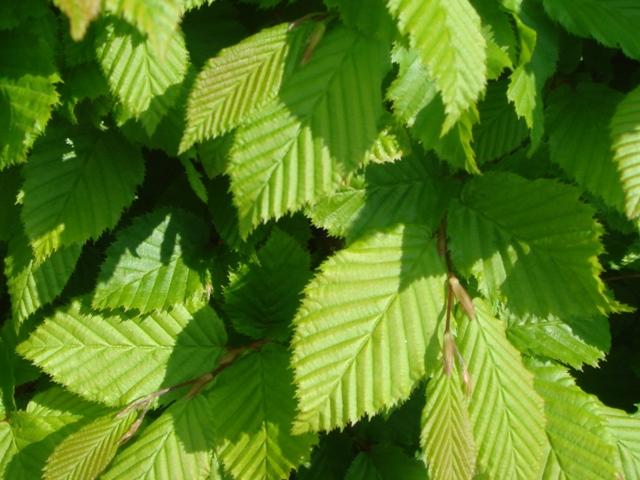 На фото листва граба крупным планом.