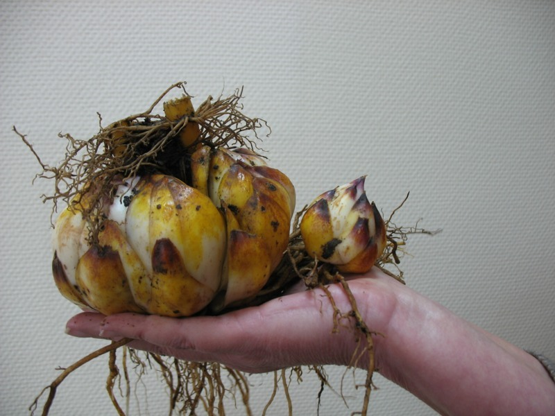 Large Lily bulbs.