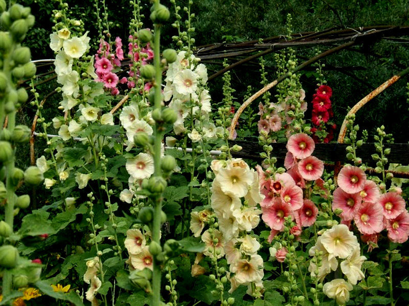 Blooming mallow.