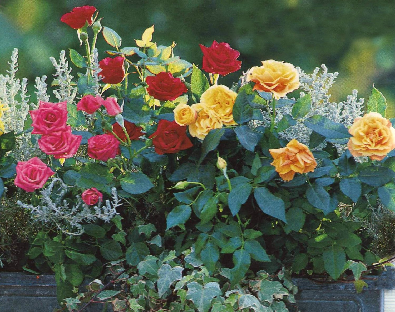 Миниатюрные розы.