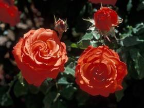"""Мини-роза, сорт """"Анжела Риппон""""."""