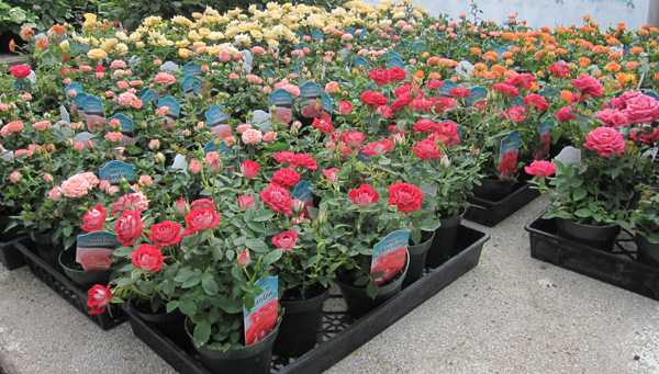 Mini-roses in pots.