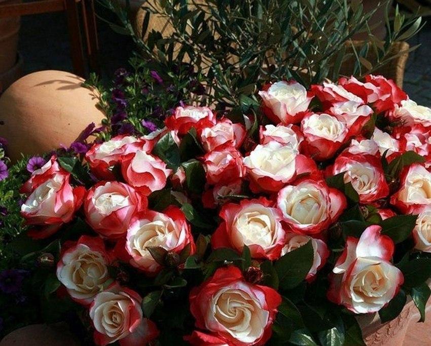 Мини-розы в ландшафте.
