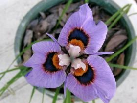 Морея мохнатая или Павлиний цветок.