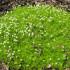 Зялёны дыван у садзе – мшанка шиловидная
