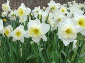 Багаторічні квіти для дачі на півночі