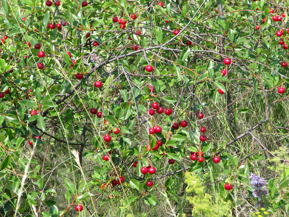 "Cherry varieties ""Novoaltaisk""."