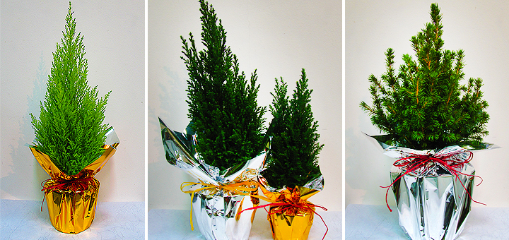 Christmas trees as a gift.