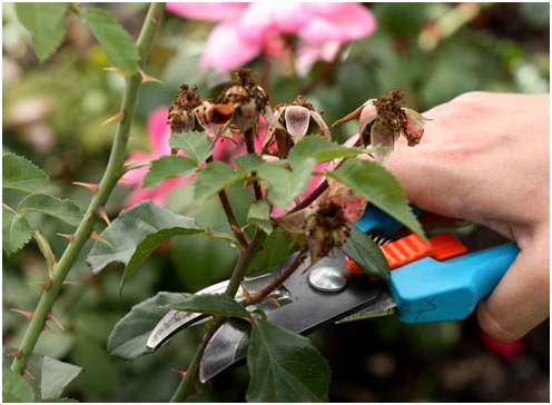 Pruning roses with secateurs.