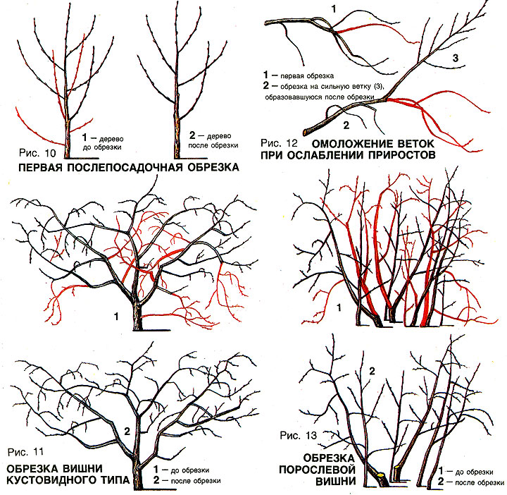 Figure: proper pruning cherries.
