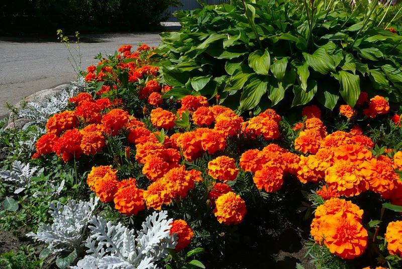 Оранжевые бархатцы - солнечные цветы.