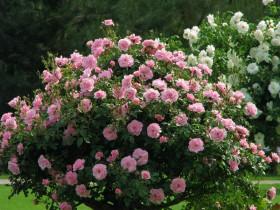 Парковая роза.